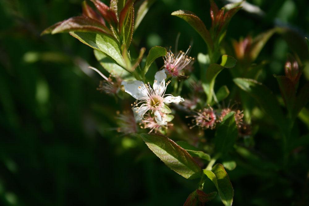 Prunus humilis